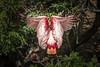 High Island Smith Oaks Bird Sanctuary Rookery - Texas