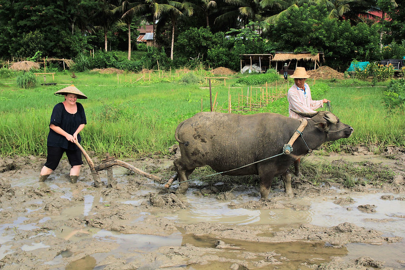 Heather Cole ploughing water buffalo in Laos