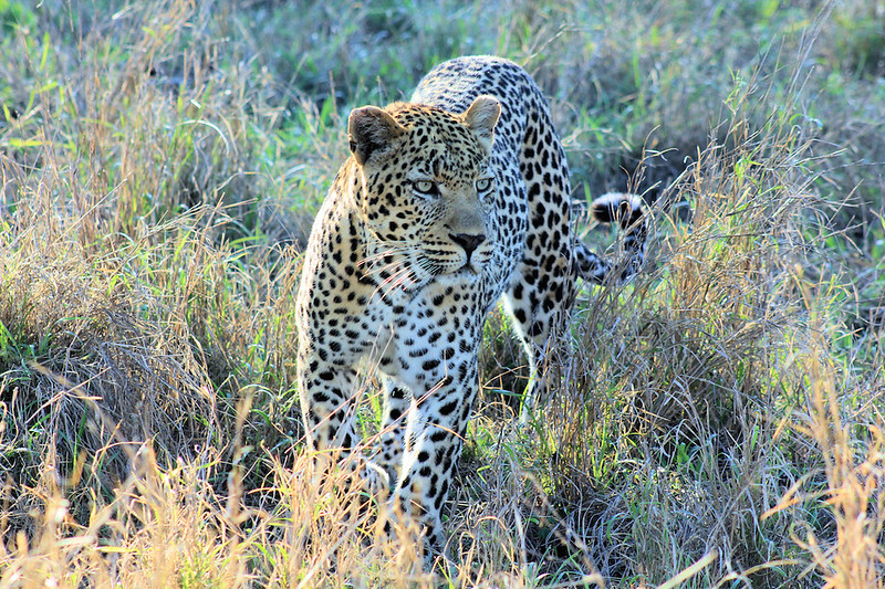 leopard at Ulusaba, Sabi Sand Reserve, South Africa
