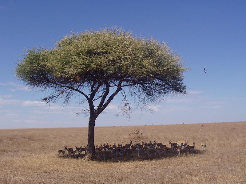 gazelle in the Serengeti