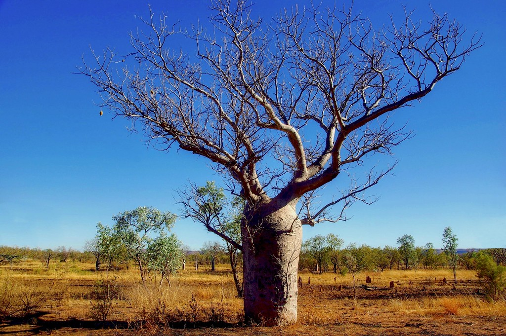 Boab tree in the outback of Western Australia