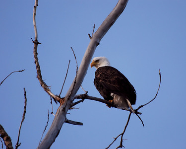 Bald Eagle Watching Me