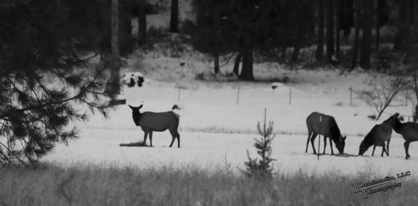 Field Elk - January 22, 2012