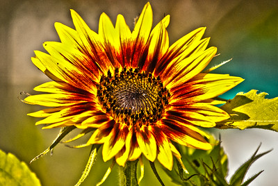 August Sunflower