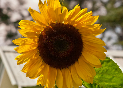 Big Sunflower in August