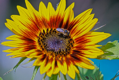 Bee The Sunflower