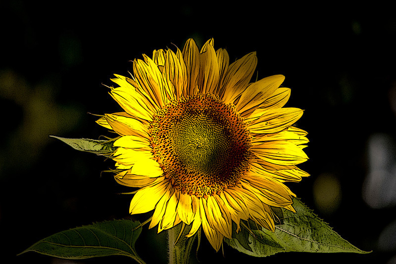 Morning Sun Flower