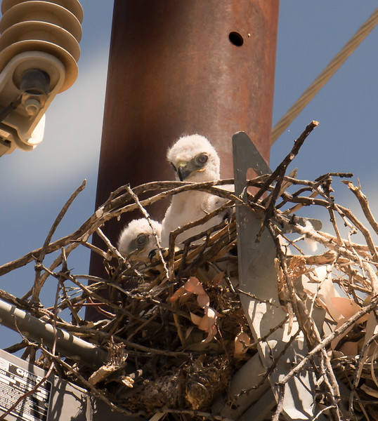 Photo #111 of 365 - Baby Red Tailed Hawks