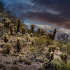 Photo #143 of 365 - Forest of Cholla Cactus