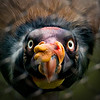 Photo 283 of 365 - King Vulture