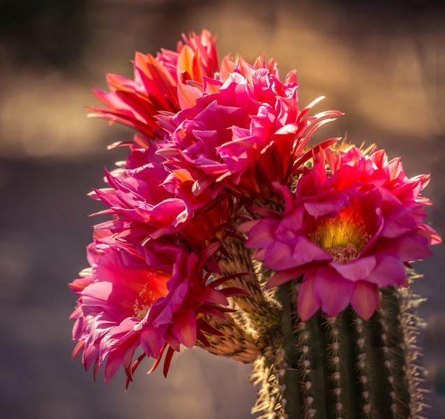Photo #146 of 365 - Cactus Beauties!