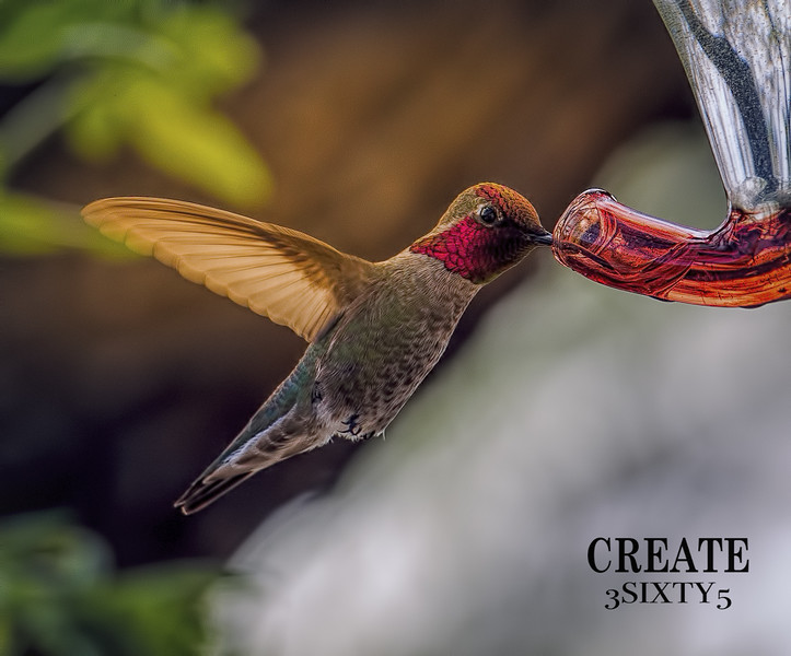 Photo #84 of 365 - Magnificent Hummingbirds!