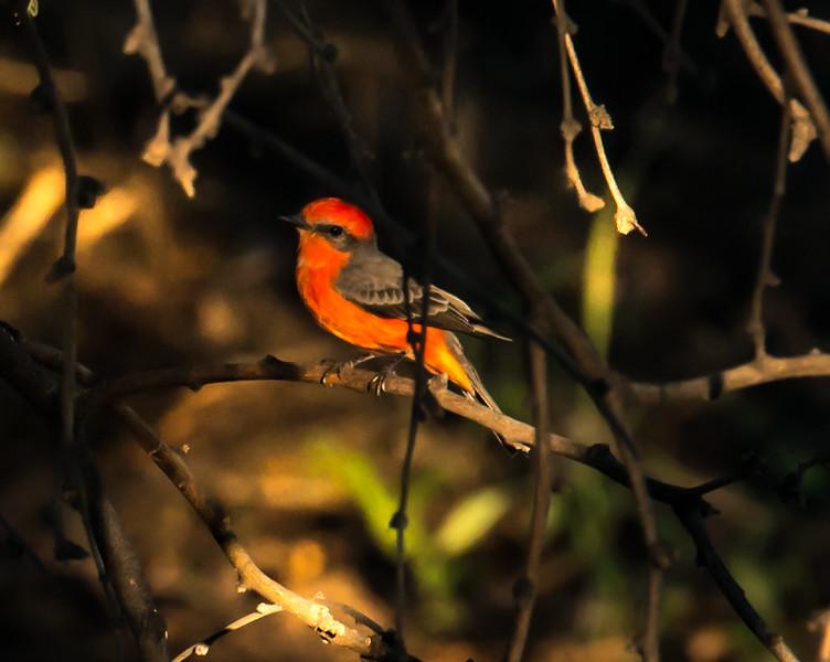Photo #314 of 365- Such a beauty my little Vermillion Flycatcher!
