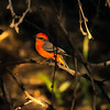Photo #314 of 365- Such a beauty my little Vermillion Flycatcher!