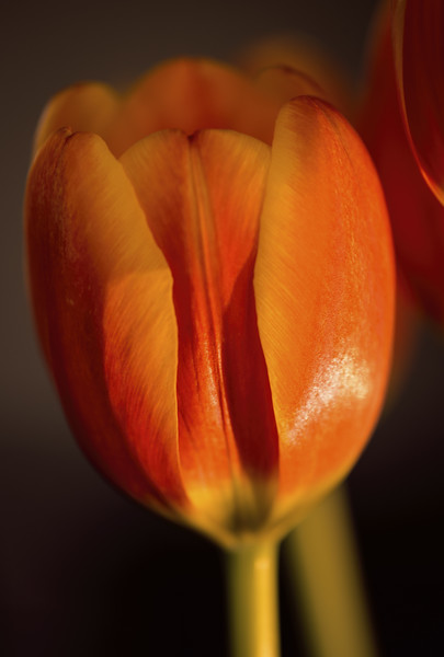 Photo #83 of 365 - Carrie's Tulip