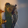 Photo #218 of 365 - Gila Woodpecker foraging for food!