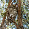 Photo #143 (C) of 365 - Momma Owl
