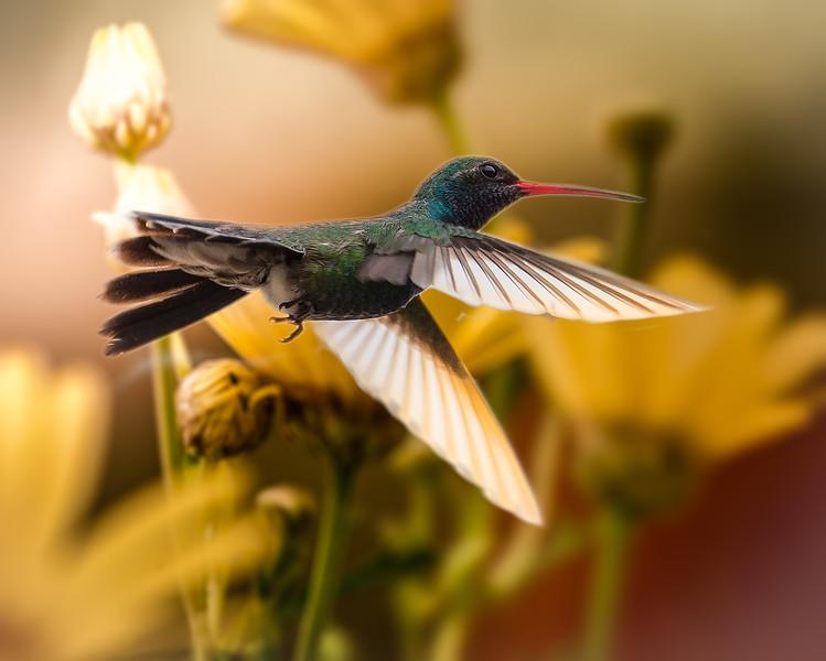 Photo 310 of 365 - Broad-billed Hummingbird