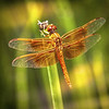 Photo #177 of 365 -Beautiful Flame Skimmer (Libellula saturata) Dragonfly