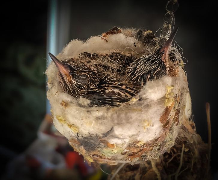 Photo #167 of 365 - Baby Hummingbirds