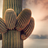 Photo #158 of 365 - Saguaro Sprouting New Arms!!