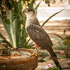Photo #181 of 365 - Cooper's Hawk visits my birdbath!