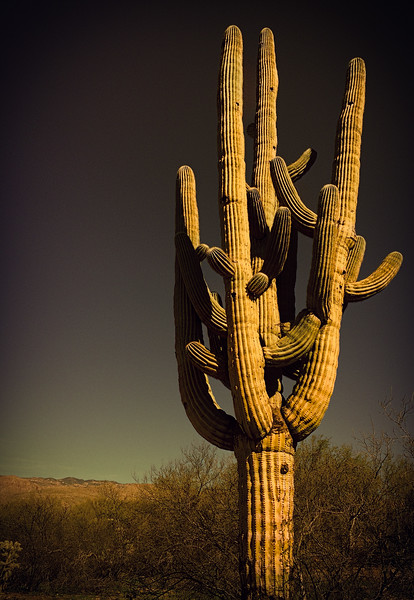 Photo #33 of 365 - The Majestic Saguaro!