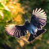 Photo #291 of 365 - Steller's Blue Jay spreading his wings!