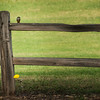Photo #261 of 365 - One bird, one flower, one fence...big world...