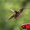 Photo #269 of 365 - Female Magnificent Hummingbird
