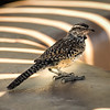 Photo #188 of 365 - Cactus Wren : State Bird of Arizona