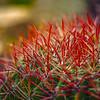 Photo #172 of 365 - Fire Barrel Cactus