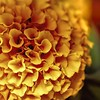 Photo #116 of 365 - Marigold Magic