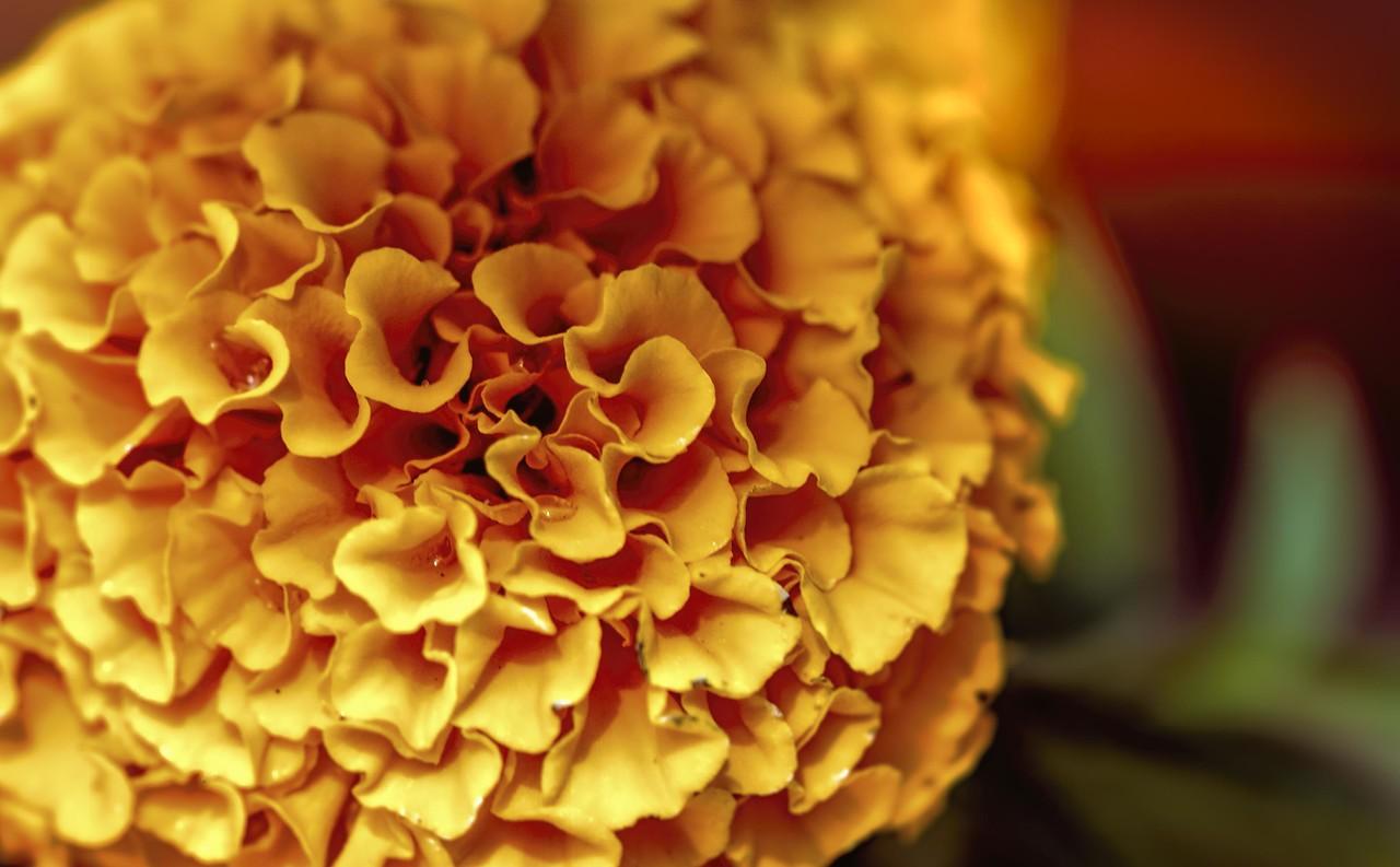 Photo #116 of 365 - Marigold Magic
