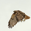 Photo #54(b) of 365 - Red Tailed Hawk