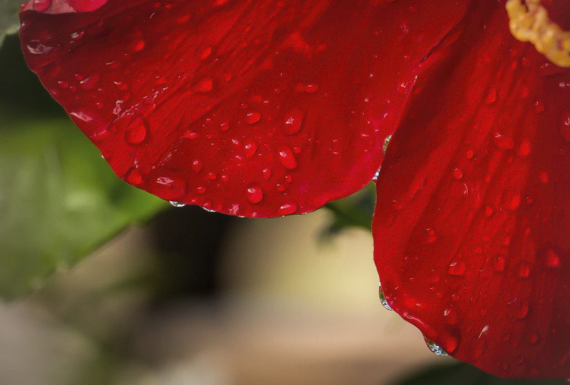 Photo #293 of 365 - Rain Soaked Petals!