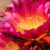 Photo #259 of 365 - Cactus Flower Beauty