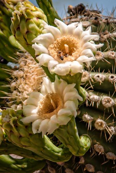 Photo #150 of 365 - Giant Saguaro Cactus Bloom!