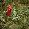 Photo #179 of 365 - Northern Cardinal