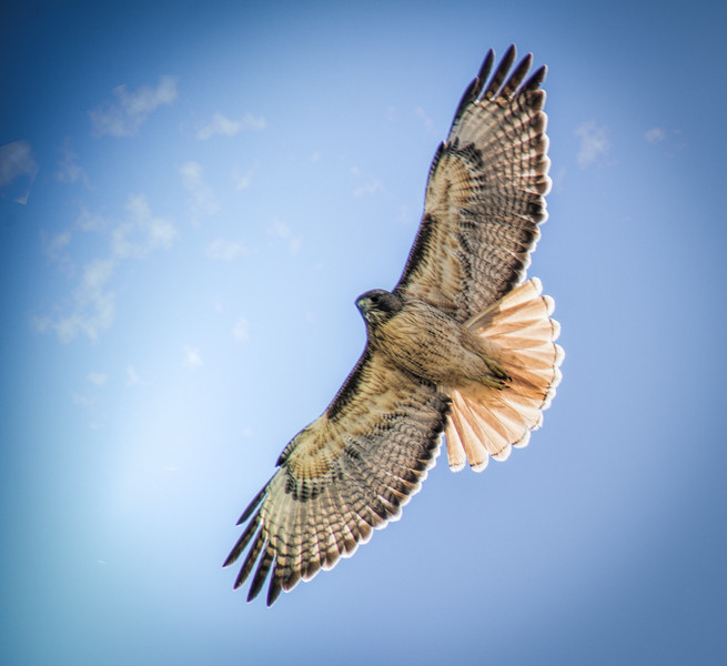 Photo #54(a) of 365 - Red Tailed Hawk