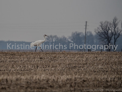 12.9.2015 Whooper in the wild