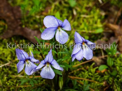 5.11.2016 Fav wood violets
