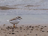 5.2.2017 Piping Plover - rare and endangered