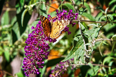 aug12-butterfly-monarch