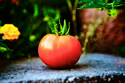 jun12-tomato-just-picked