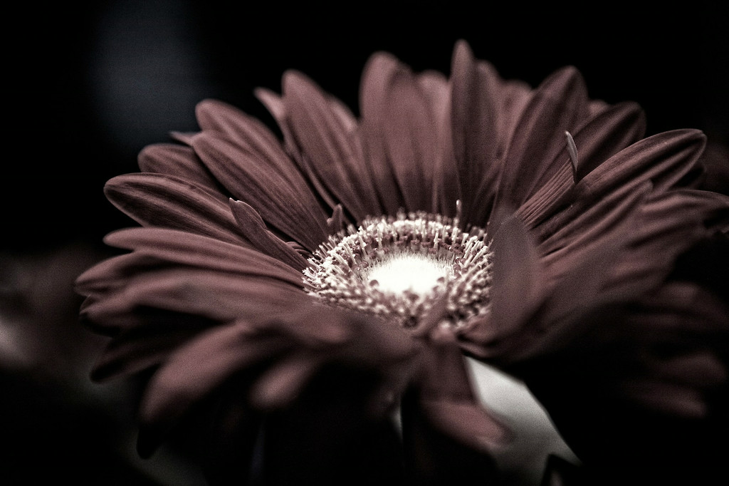 mar12-red-daisy-gerbera-fadetobw
