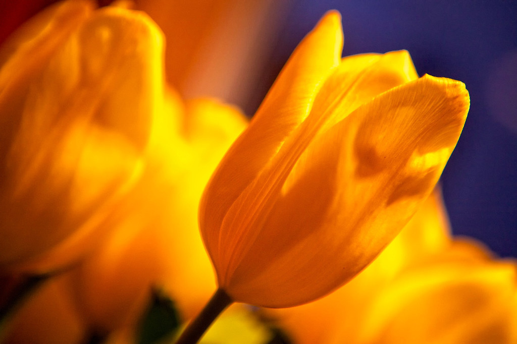 sep12-yellow-tulip-flowers-2