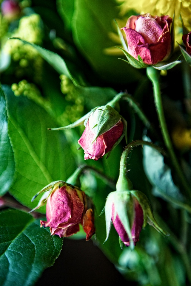 feb12-dried-red-rose-buds