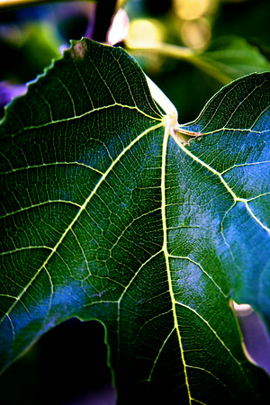 jun12-fig-leaf