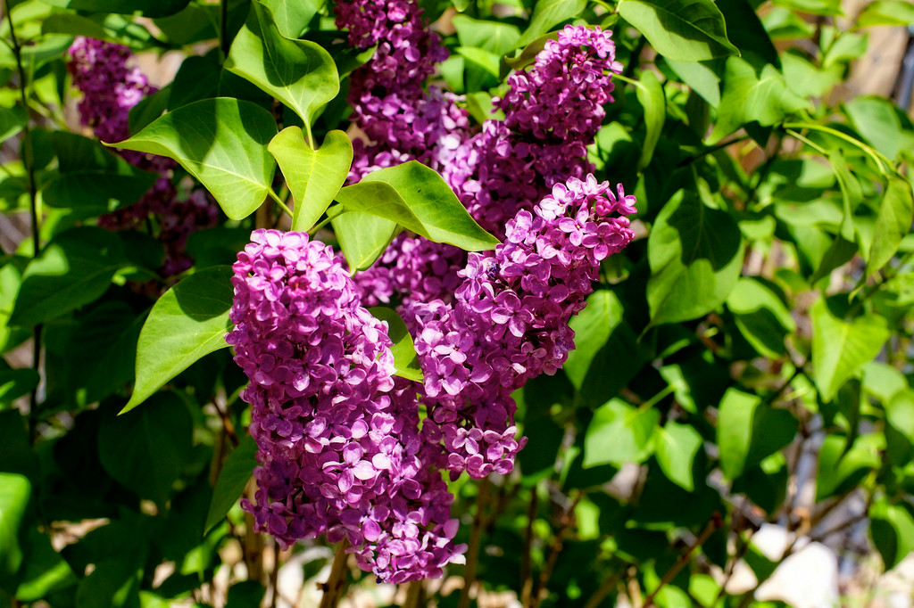 may12-lilac-flowers